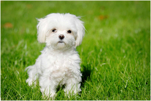 Maltese Dog Facts And Information